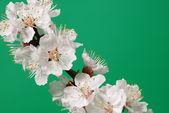 Floreciente rama de un árbol — Foto de Stock