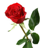 バラの開花 — ストック写真