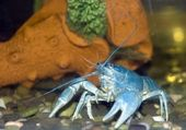 Blue crayfish2 — Stock Photo