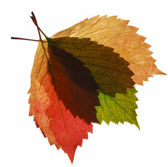 Composition from transparent autumn leaf — Stock Photo