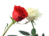 Contact red and white rose — Stock Photo