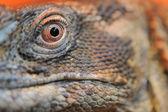 Iguana eye closeup — Stock Photo