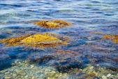 Picturesque sea seaweed — Stock Photo