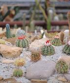 Cactus set — Stock Photo