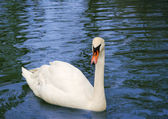 Swan in lake — Stock fotografie