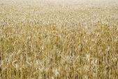 The big field of ripened wheat — Stock Photo