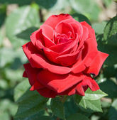 The blossom darkly red rose — Stock Photo