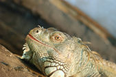 The lizard — Stock Photo