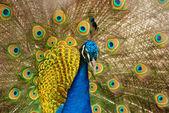 Peacock — Stockfoto