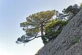 Tree alone in mountain — Foto de Stock