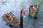 Two black swans — Stock Photo