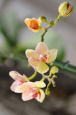 Orchid yellow — Stock Photo