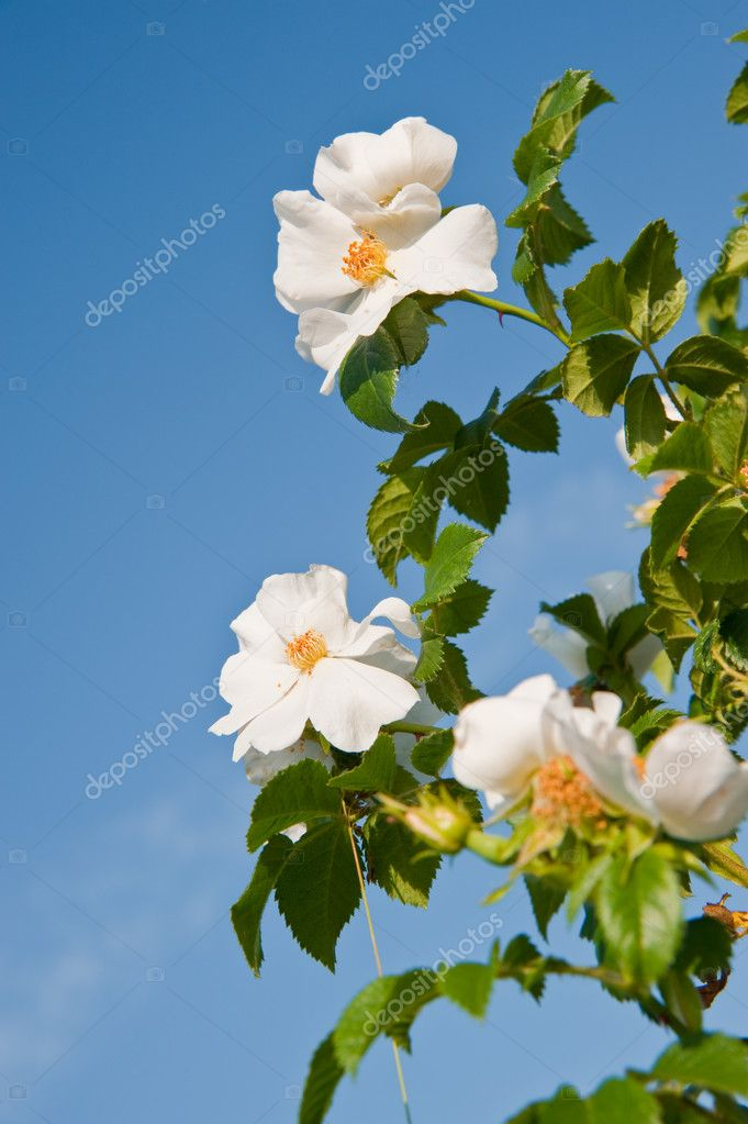 Flowers of a dogrose. A prickly bush a version of a rose — Stock Photo #6192813