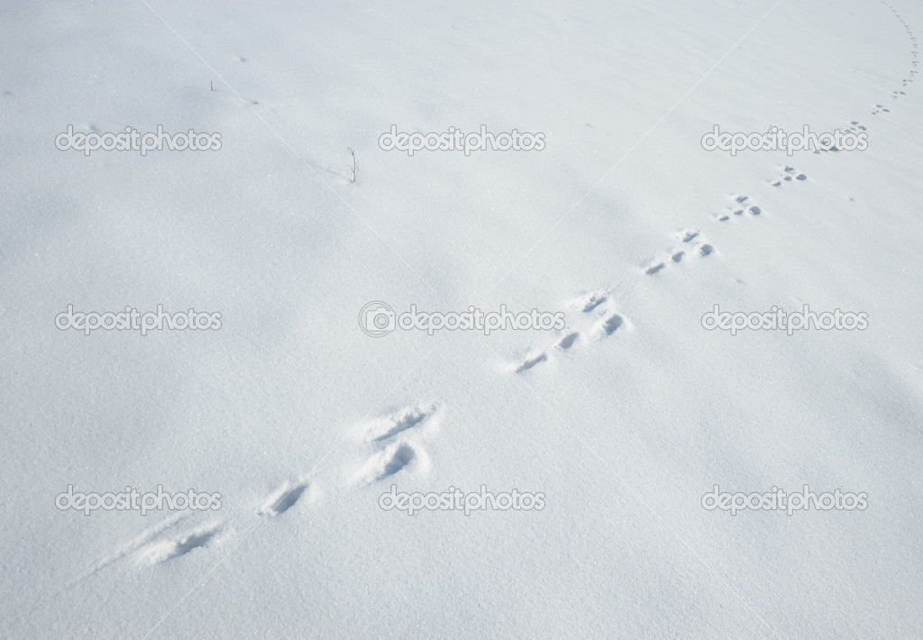 Traces of a hare on a snow. A print of paws on a winter floor  Stock Photo #6198824