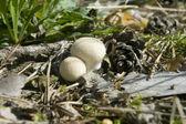 Mushroom Lycoperdon perlatum — Stock Photo