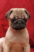 Young 10 weeks old female pug. - Kleine Mopshündin, 10 Wochen alt — Stockfoto
