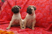 Young ten weeks old female pugs sitting on a red sofa — Stock Photo