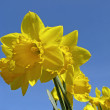 Narcissus, Daffodil, Lent lily. Osterglocke — Stock Photo #6712635