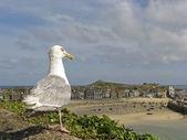 Hering gull, Larus argentatus, Silbermöwe — Stock Photo