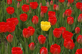 Red tulips with a yellow one in the middle — Stock Photo