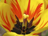 Tulip detail - Tulpendetail — Stock Photo