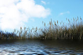 Reeds on the sea against a blue sky — Stock Photo