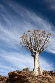 Age quiver tree in South Africa — Stock Photo