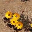 Yellow desert plant in South Africa — Stock Photo