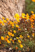 Yellow plant in South Africa — Stock Photo