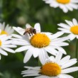 Bee on camomile. — Stock Photo #5891765