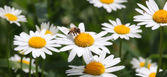 Bee on camomile. — Stock Photo