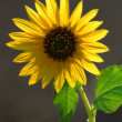 Stock Photo: Closeup image of lone sunflower.