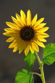 Closeup image of lone sunflower. — Stock Photo