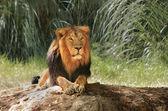 Lion in safari. — Foto de Stock