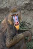 Mandrill in the Zoo. — Stock Photo