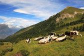 Eine herde kühe auf der wiese. — Stockfoto