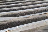 Campo de espargos — Foto Stock