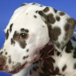 Dalmation — Stock Photo
