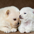 Two puppies of the spitz-dog in studio on a neutral background — Stock Photo