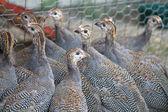 Six week old Guinea Fowl Keets — Zdjęcie stockowe