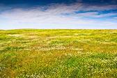 Field camomiles — Stock Photo