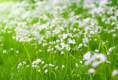 Cardamine pratensis — Stock Photo