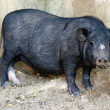 Pot-bellied pig in sandy outdoor enclosure — Stock Photo #6473646