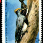 Vintage postage stamp. Oreal spreading White-Bellied Black Woo — Stock Photo #5440416