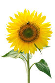 Sunflower and insect. — Stock Photo