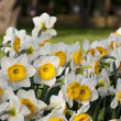Narcissus in the meadow - Stock Photo