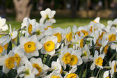 Narcissus in the meadow — Stock Photo