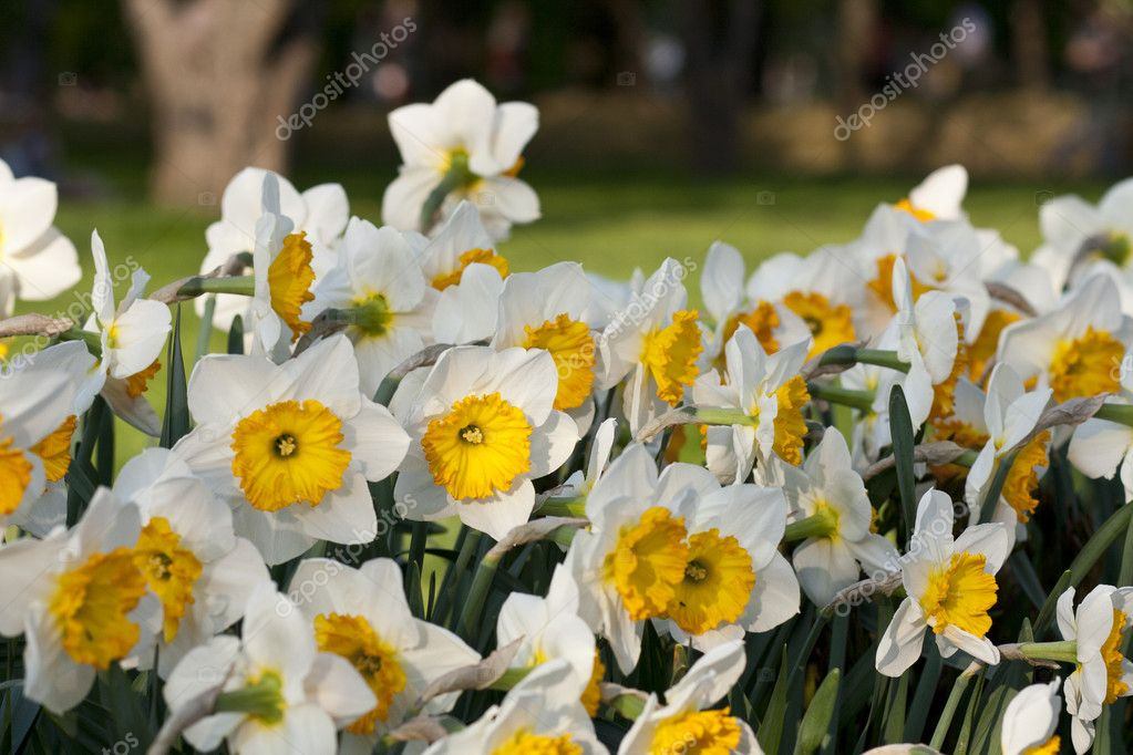 Bright yellow white narcissus in the meadow on the sunny day.  — Stock Photo #6064307
