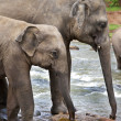 Asian Elephants - Stockfoto