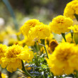 Yellow Marigold Flowers - Stock Photo